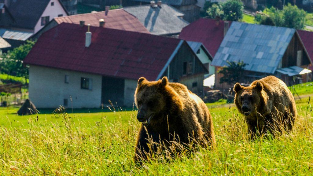 ursul-brun-in-apropierea-asezarilor-umane-tomas-hulik-1920x1080