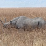 Black rhinoceros (Diceros bicornis) at the Ngorongoro Conservation Area in Tanzania, Africa