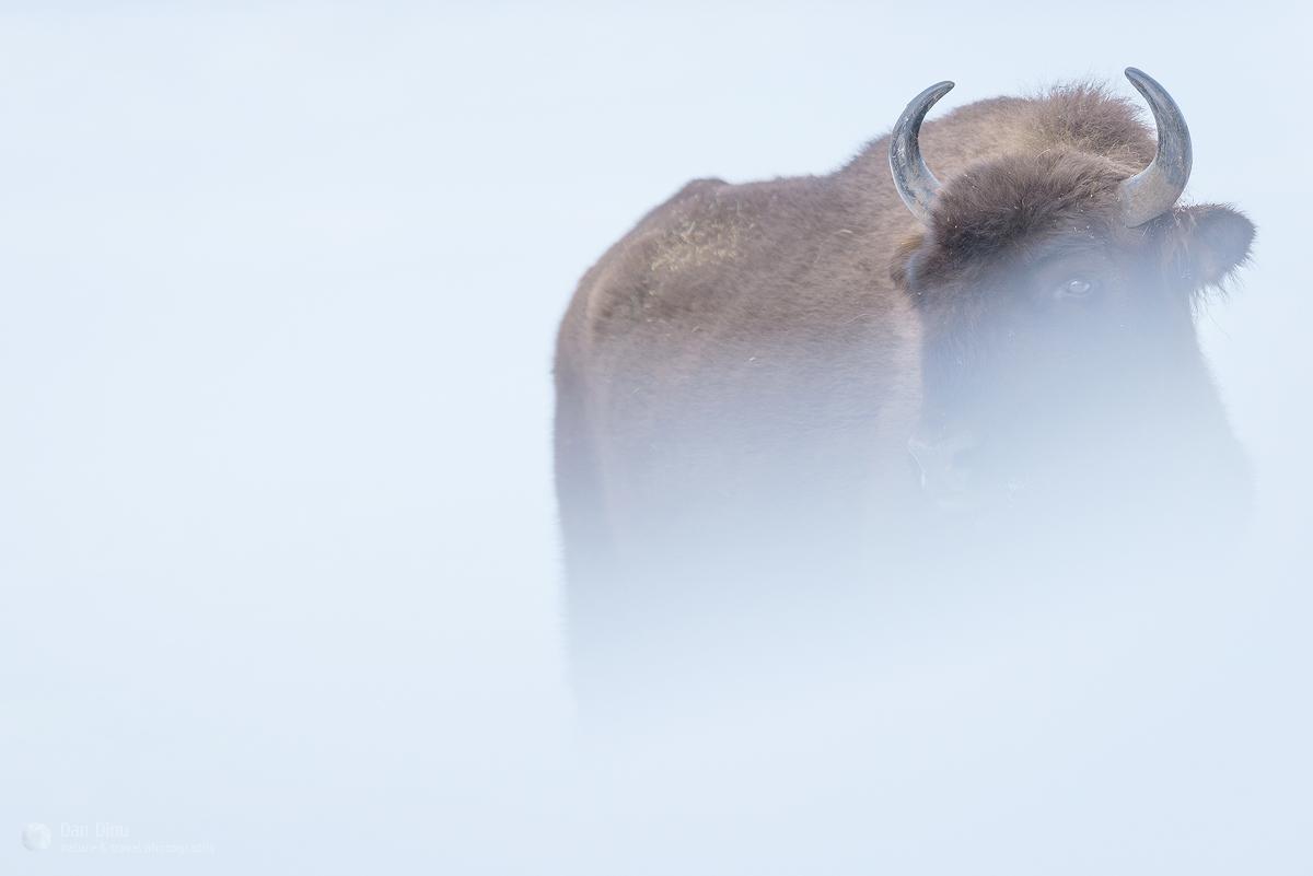 Zimbru pe timp de iarnă ©Dan Dinu