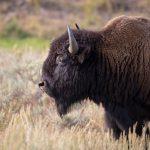 bizon american wwf