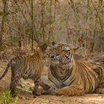 tigru india wwf