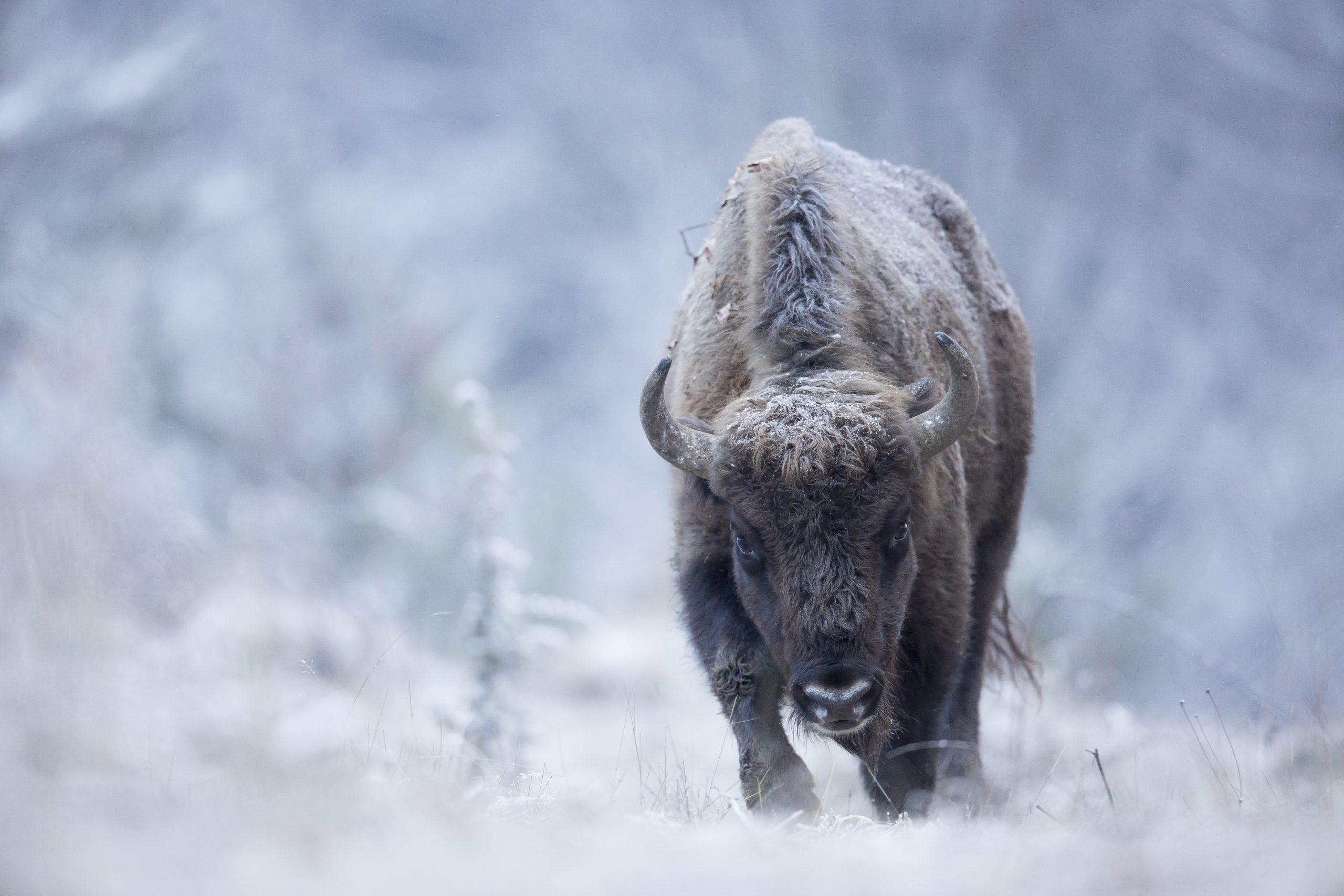 Zimbru iarna ©Michel D'Oultremont