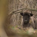 Zimbru în peisaj de pădure ©Daniel Mîrlea