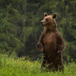 Urs brun ©Dan Dinu