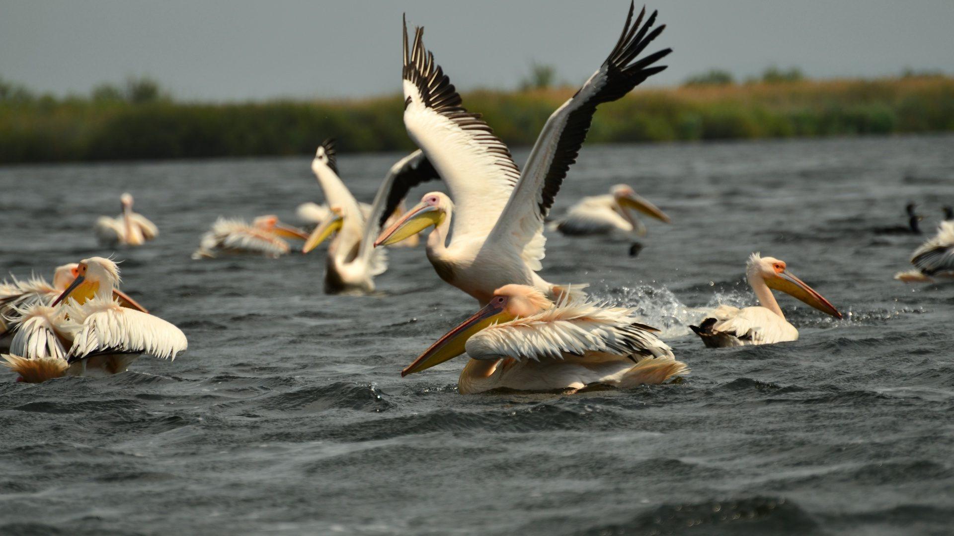 pelicani-in-delta-dunarii-1920x1080