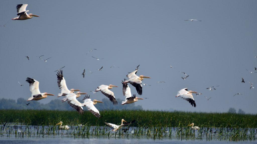 pelicani-delta-dunarii-1920x1080