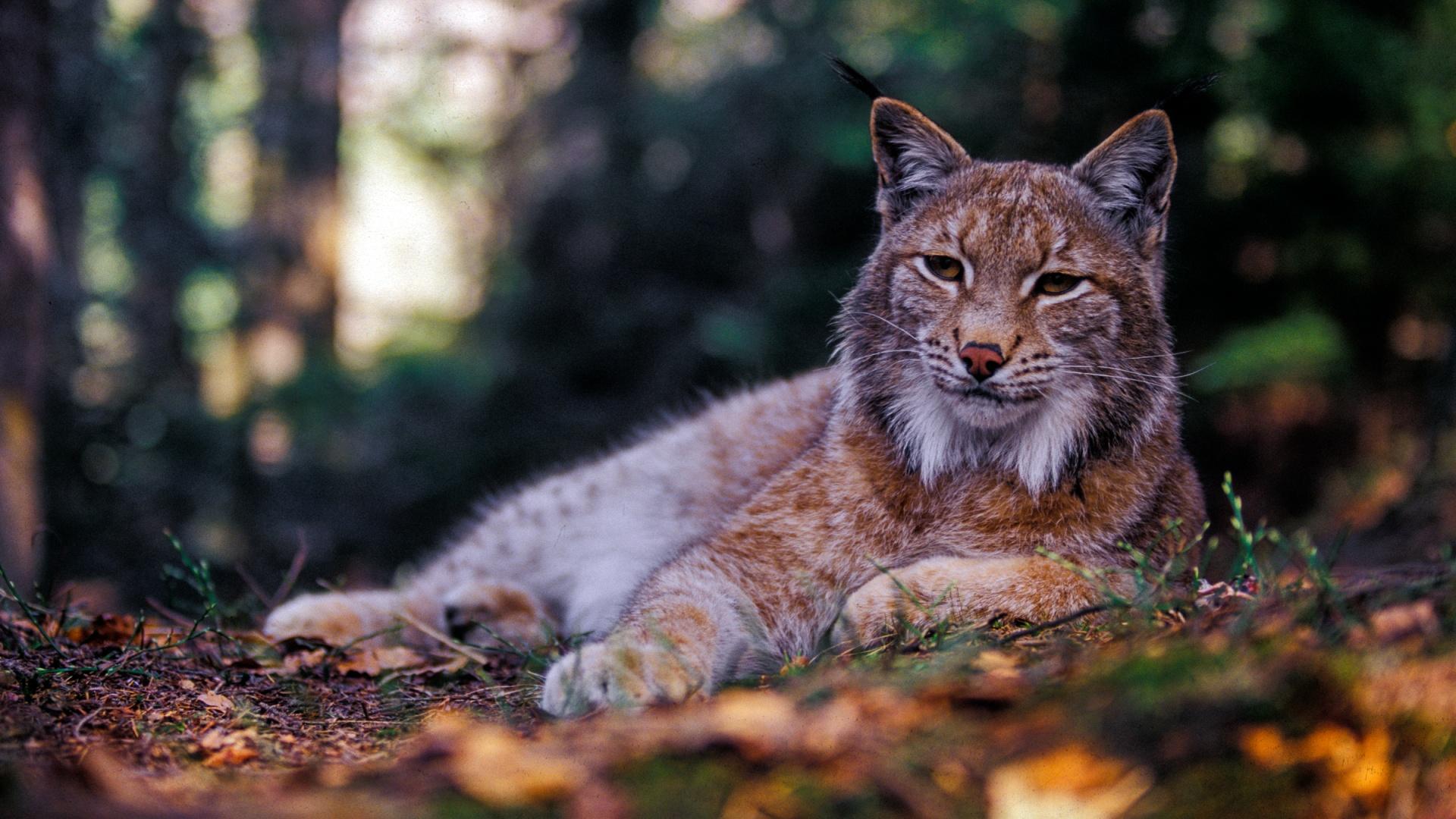 eurasian-lynx-forest-national-park-slovakia-tomas-hulik-wwf-1920x1080