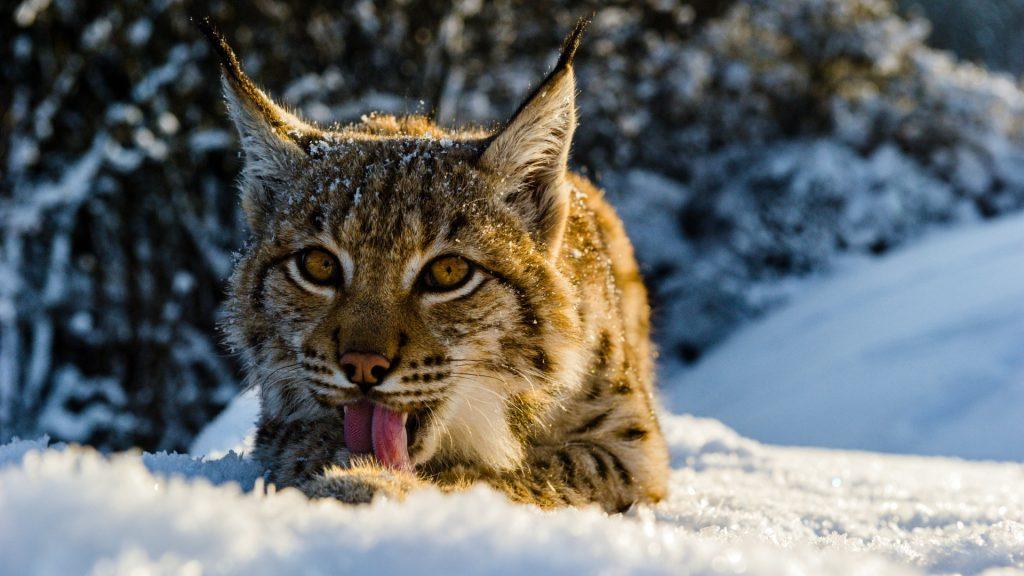eurasian-lynx-eating-snow-national-park-slovakia-tomas-hulik-wwf-1920x1080