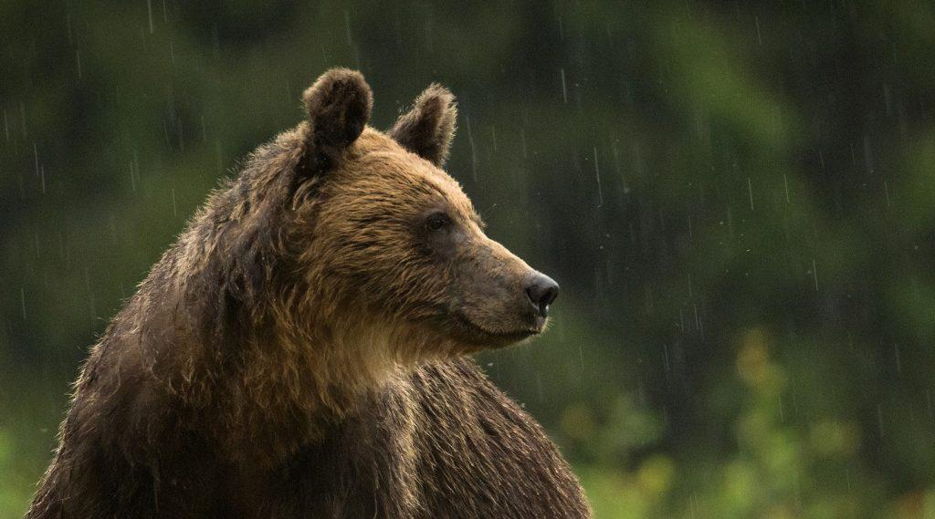 Urs brun © Dan Dinu