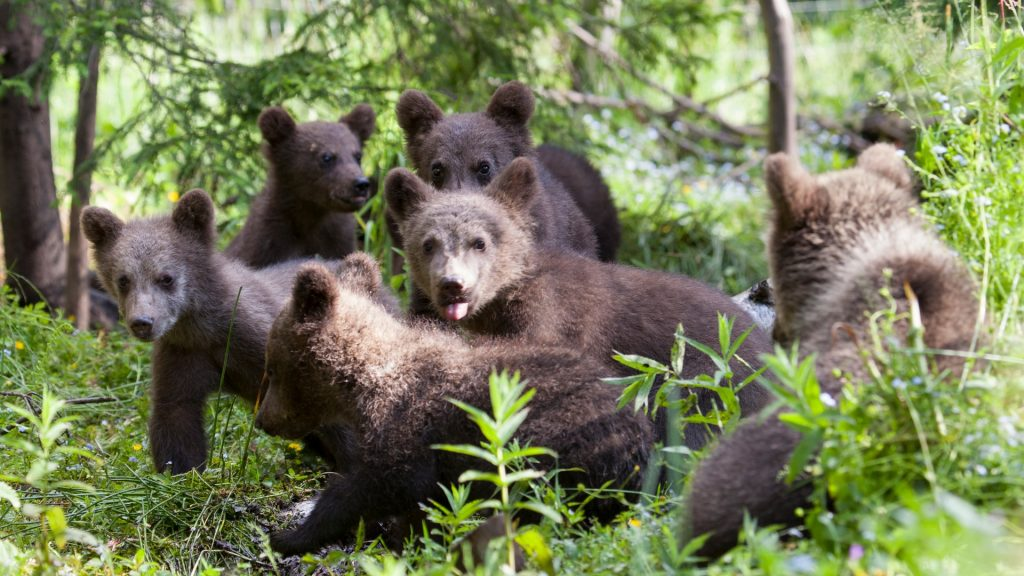 2018 Bear Orphanage Cubs almost full group (Gabriel Galgocy)