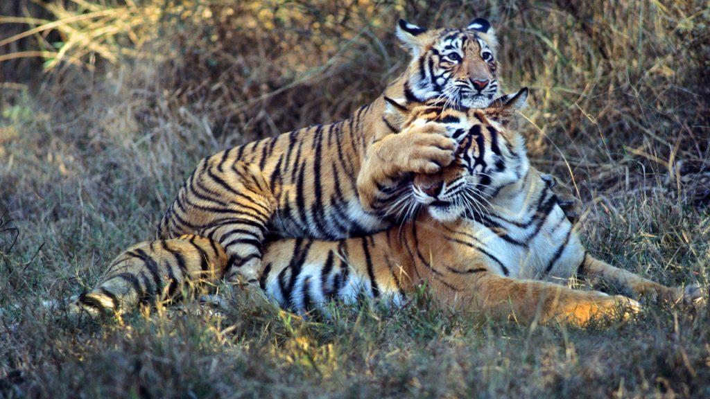 panthera_tigris_vivek_r__sinha___wwf_1