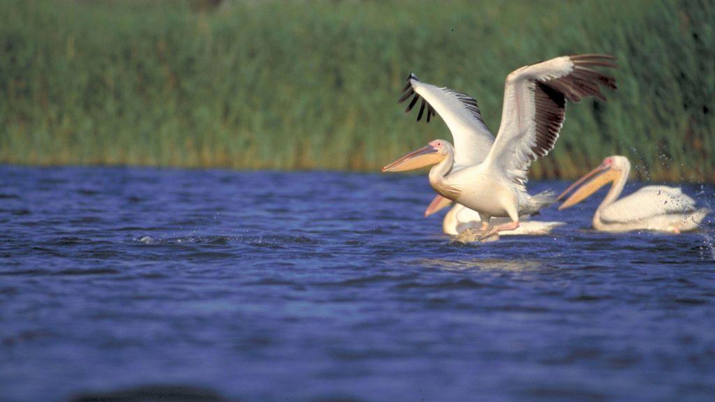 pelicani__copyright_anton_vorauer_wwf_dcp_