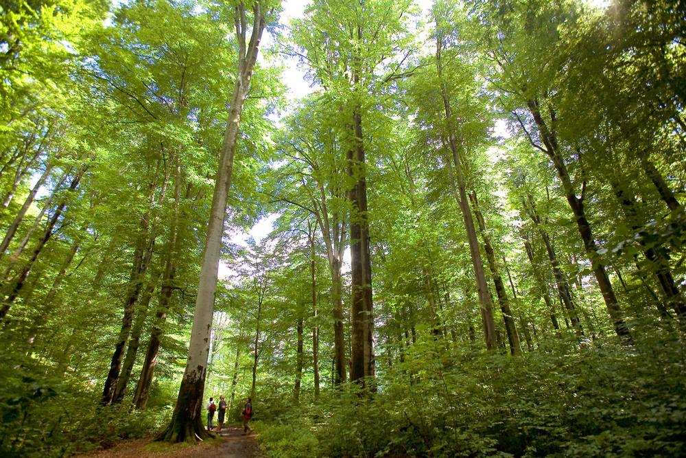 Beech forest, Gradistea Muncelului Cioclovina Nature Park, Roman