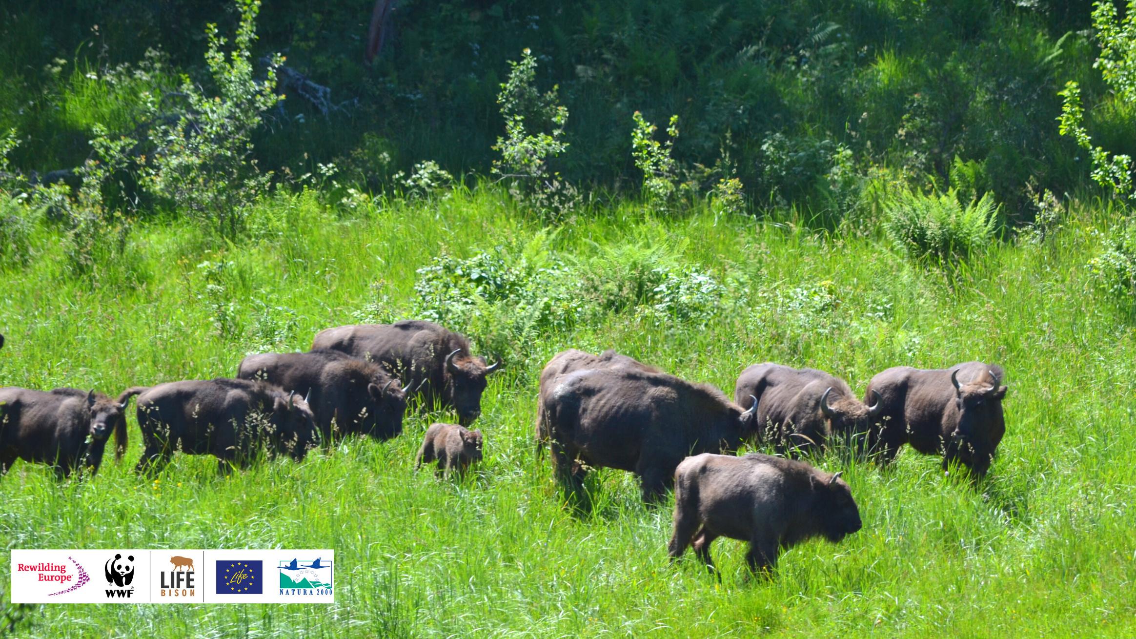 Pui de zimbru în Măgura Zimbrilor 2020 ©WWF-Romania